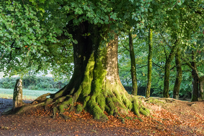 Autumn beech tree photograph